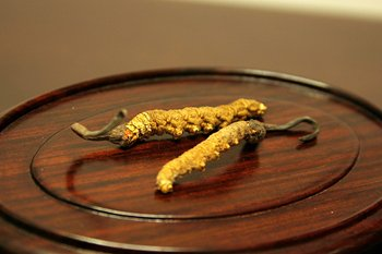 cordyceps picture